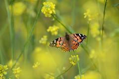 Painted Lady (linda m bell) Tags: malibucreekstatepark calabasas california 2019 birdwatching socal paintedlady butterfly mustard