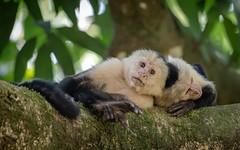 White-faced Capuchin (tickspics ) Tags: centralamerica osapeninsula newworldmonkeys southernpacificlowlands whitefacedcapuchin bosquedelcabo costarica cebidae cebuscapucinus centralamericanwhitefacedcapuchin golfodulce mammalia platyrrhini primates pacificcoast panamanianwhitefacedcapuchin southpuntarenas tropicallowlandrainforest whiteheadedcapuchin