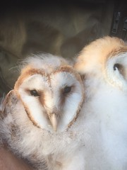 Barn Owl Juvenile (Picture taken under schedule 1 licence) (WiltsWildAboutBirds) Tags: summer beauty barn wildlife country youngster juvenile barnowl britishbirds wiltswildaboutbirds nestling nature countryside farmland heartface wildbird