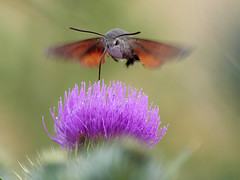 Hummingbird Hawk Moth (Nevrimski) Tags: hummingbird hawk moth thistle