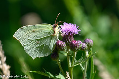 Zitronenfalter (Make human well-being your hobby) Tags: insekten natur schmetterlinge zitronenfaltergonepteryxrhamni homberg hessen deutschland