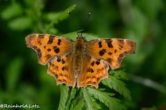 C-Falter (Make human well-being your hobby) Tags: cfalterpolygoniacalbum insekten natur schmetterlinge homberg hessen deutschland