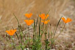 Poppies (linda m bell) Tags: malibucreekstatepark calabasas california 2019 birdwatching socal poppies wildflowers