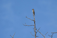 Western Wood-Pewee (linda m bell) Tags: malibucreekstatepark calabasas california 2019 birdwatching socal westernwoodpewee flycatcher