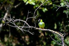 Nanday Parakeet (linda m bell) Tags: malibucreekstatepark calabasas california 2019 birdwatching socal nandayparakeet