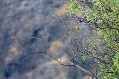Yellow Warbler (linda m bell) Tags: malibucreekstatepark calabasas california 2019 birdwatching socal yellowwarbler