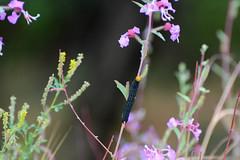Painted Lady Caterpillar (linda m bell) Tags: malibucreekstatepark calabasas california 2019 birdwatching socal paintedlady caterpiller