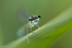 Ischnura elegans (De Hollena) Tags: bluetaileddamselfly dragonfly grosepechlibelle ischnuraelegans lagrionélégant lantaarntje libel libelle