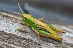 Grasshopper (dav1dwood) Tags: grasshopper sigma105macrooshsm macro closeup wild sigma nature nikon d7100 insect 105mm
