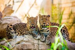 _DSC0900 (relishedmonkey) Tags: nikon d750 animals colours emirates park zoo abu dhabi pairs looking eyes stare summer heat