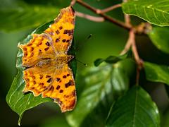 Schmetterling / Butterfly (Iso-Star) Tags: fe70300mmf4556goss sonyfe70300mmgoss sonyilce7m3 sonya7iii sonyalpha sony vollformat fullframe butterfly schmetterling grün green wald forest wood natur nature drausen outside makro bokeh