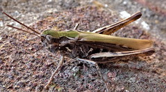 Good camouflage, but, (Les Fisher) Tags: grasshopper camouflage insect macro macroinnature