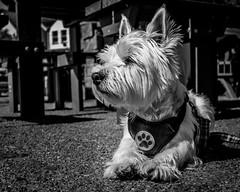 Boo (Warren Brendan McCann) Tags: canon canong1x dog highlandterrier devon blackandwhite mono