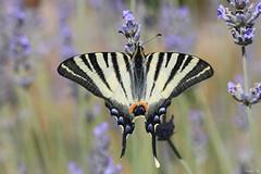 Flambé (Iphiclides Podalirius). (HimalAnda) Tags: papillon butterfly flambé vendée france macro macrophotography macrophotographie eos70d canoneos70d tamron90mm insecte insect