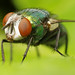 Fly on a Rhubarb Leaf