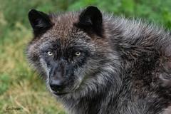 Grey Wolf (stitchersue) Tags: wolf greywolf watching captive haliburtonforest haliburton ontario canada