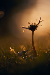 Nach dem Regen (generalstussner) Tags: flower blume natur nature makro macro wiese regen regentropfen canon sunset