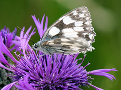 Marbled White Butterfly (Nevrimski) Tags: marbled white butterfly