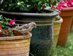 Little Gardener (Hindrik S) Tags: little gardener sparrow mus mosk sperling passerdomesticus bird fûgel vogel vögelchen garden garten tuin tún jardin bloempot blumentopf flowerpot jardinière creation skepping schepping schöpfung nature natuur natoer 2019 on1pics sonyphotographing sony sonyalpha α77 slta77ii sonyilca77m2 sonya77ii tamron tamronaf16300mmf3563dillvcpzdmacrob016 16300