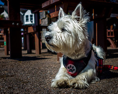 Boo (Warren Brendan McCann) Tags: canon canong1x dog highlandterrier devon colour