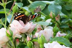 visitor in my secret garden (photos4dreams) Tags: photos4dreams p4d photos4dreamz schmetterling butterfly falter canoneos5dmark3 canoneos5dmarkiii mysecretgarden