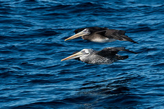 Peruvian Pelican (Pelecanus thagus) (Kremlken) Tags: pelecanusthagus pelicans pelagic coastal seabirds southamerica humboldtcurrent pacific ocean bird birds birdwatching nikon500 nature