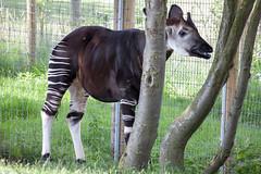 Okapi (Rich Jacques) Tags: okapi okapiajohnstoni yorkshirewildlifepark july 2019