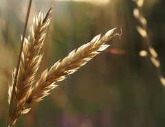 (skloi) Tags: gras grass sommer summer licht abend light goldenhour