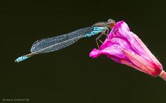 Erythromma viridulum (De Hollena) Tags: erythrommaviridulum kleineroodoogjuffer kleinesgranatauge libel libelle l'agrionvert naïadeaucorpsvert smallredeye smallredeyeddamselfly waterjuffer
