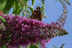 visitor in my secret garden 2 (photos4dreams) Tags: photos4dreams p4d photos4dreamz schmetterling butterfly falter canoneos5dmark3 canoneos5dmarkiii mysecretgarden