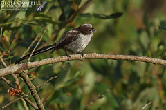 Young Long-tailed Tit (Aegithalos caudatus) (gcampbellphoto) Tags: aegithalos caudatus long tailed tit bird avian nature wildlife biodiversity wexford ireland gcampbellphotocouk