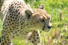 Southern Cheetah (charliejb) Tags: dartmoorzoo dartmoor zoo wildlife devon southdevon 2019 sparkwell southerncheetah feline carnivore bigcat spotted fur furry furred