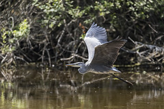 En vol - In flight (bboozoo) Tags: oiseau bird héron heron nature animal wildlife canon6dmarkii tamron150600 eau water lake lac branche branch ailes wings