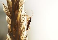 Sichelwanze (skloi) Tags: gras grass sommer summer licht abend light goldenhour sichelwanze