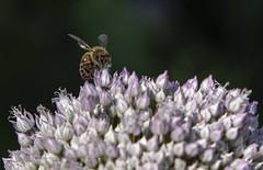 6I8A0911 (sweeny1963) Tags: garden wildflowers bees wildlife devon summer honeybee