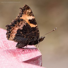 Small tortoiseshell (kimbenson45) Tags: brown butterfly closeup differentialfocus garden insect macro nature outdoors shallowdepthoffield smalltortoiseshell wildlife