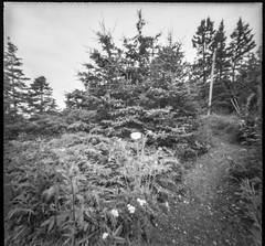 "pathway, spruce trees, Queen Anne""s Lace, Marshall Point, Port Clyde, Maine, Nikon D3300, 6x6 Pinhole, Ilford FP4+, 7.16.19 jpg (steve aimone) Tags: pathway sprucetrees queenanneslace marshallpoint portclyde maine 6x6pinhole ilfordfp4 hc110developer landscape 6x6 blackandwhite monochrome monochromatic 120 120film film mediumformat"
