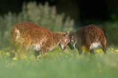 'Baa Fight' (Jonathan Casey) Tags: lambs soay pact animal sanctuary norfolk uk farm sheep jonathan casey photography nikon d850 sigma 135mm f18 art