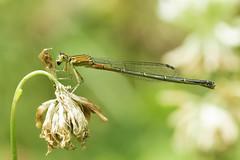 Damselfly & Dead Flower (-FlyTrapMan-) Tags: damselfly fly macro nature wildlife flower summer woods natural bug insect