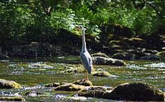 Heron on the River Lyn, Devon (Mark Wordy) Tags: heron bird riverlyn devon hunting rapids