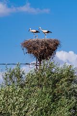 DSC_5260 (Gér@ld) Tags: tunisia nikon d7500 nature djebba stork cigogne bird