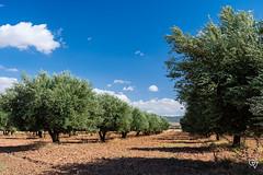 DSC_5259 (Gér@ld) Tags: tunisia nikon d7500 nature djebba olive