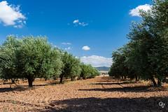 DSC_5258 (Gér@ld) Tags: tunisia nikon d7500 nature djebba olive