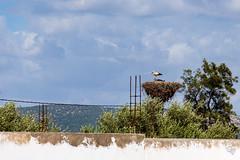 DSC_5257 (Gér@ld) Tags: tunisia nikon d7500 nature djebba stork cigogne bird