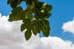 DSC_5239 (Gér@ld) Tags: tunisia nikon d7500 nature djebba fig tree
