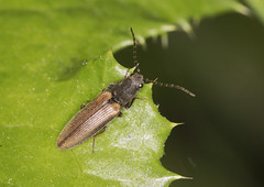 Click Beetle - Athous bicolor (Prank F) Tags: woodwaltonfen greatfen wildlifetrust huntingdonuk wildlife nature insect macro closeup beetle click athousbicolor