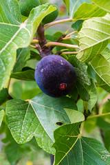 DSC_5223 (Gér@ld) Tags: tunisia nikon d7500 nature djebba fig tree