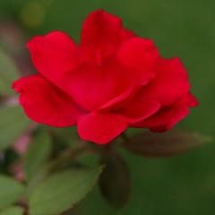 Nature (MoparMadman63) Tags: red rose flower flora petal delicate garden backyard closeup nature environment texas irvingtx