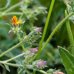 DSC_5211 (Gér@ld) Tags: tunisia nikon d7500 nature djebba flower