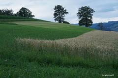 Emmentaler Landschaft am Abend (phototom12) Tags: emmental felder feld kornfeld wiese bäume landschaft ansicht